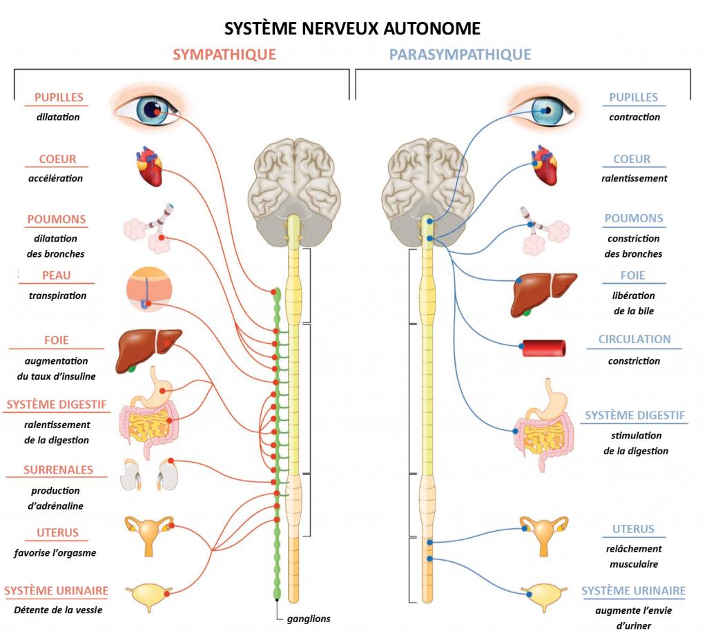 systeme nerveux ortho para sympathique cohérence cardiaque soigner-ma-sante.frfr