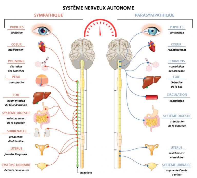système nerveux autonome équilibre cohérence cardiaque soigner-ma-sante.frfr